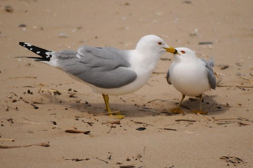 Ring-billed Gull 90