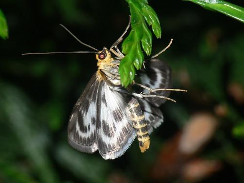 Small magpie moth ( Eurrhypara hortulata)