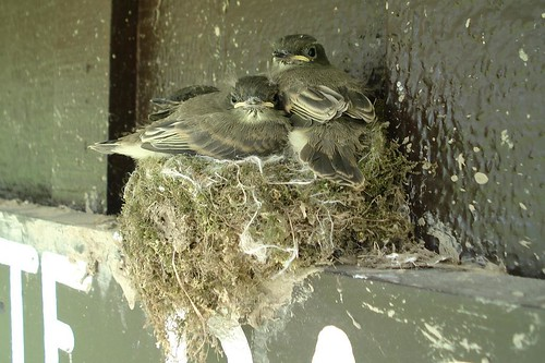 Ready to Fledged Eastern Phoebes
