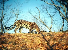 Amur leopard, south-eastern Russia