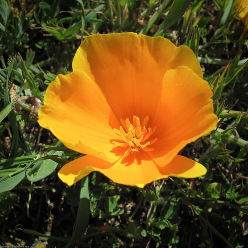 California Poppy by you.