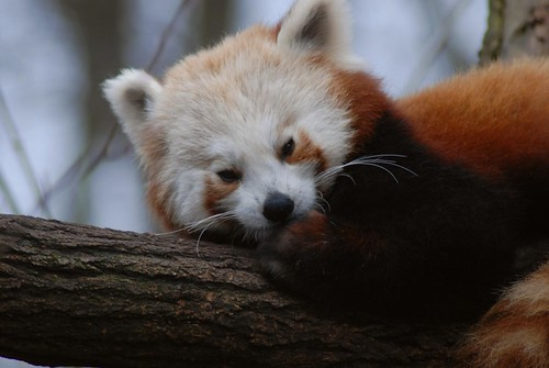 Die Roten Pandas im Tierpark Friedrichsfelde