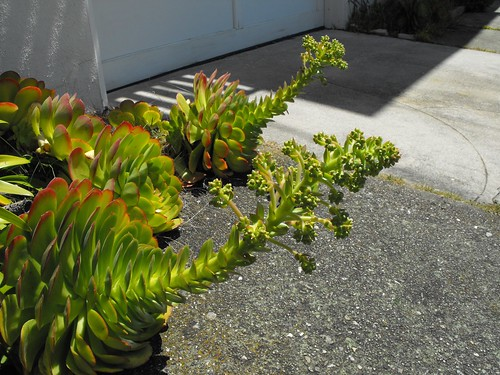 Horny Succulents on 420  22