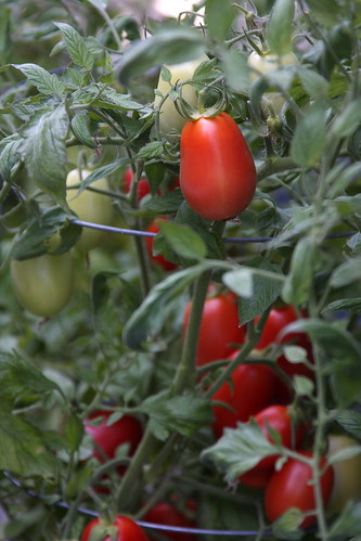 Our fruitful tomato plants