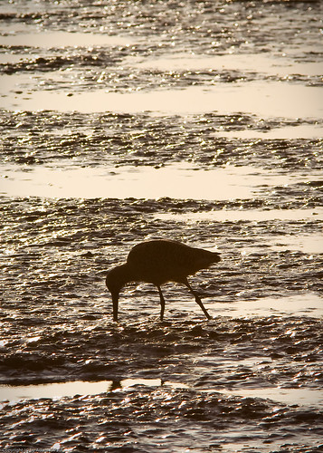 Marbled Godwit by you.