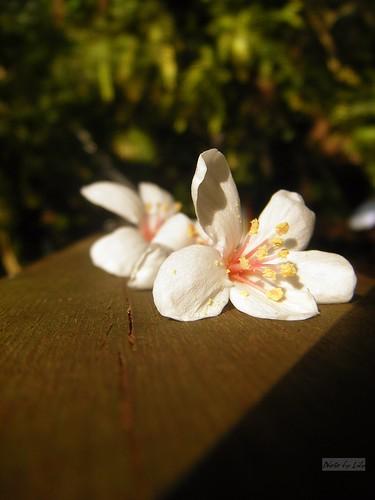 在木製平台欄杆上的落花。