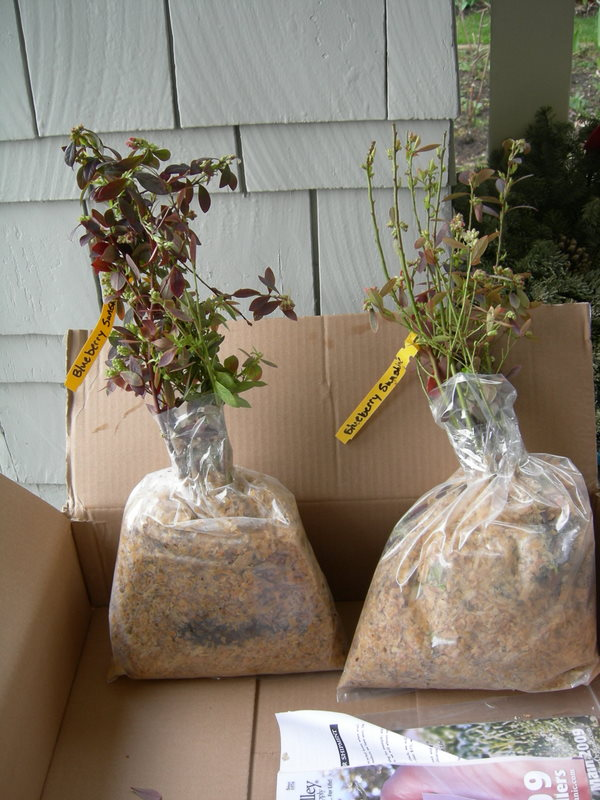 My new organic blueberry plants