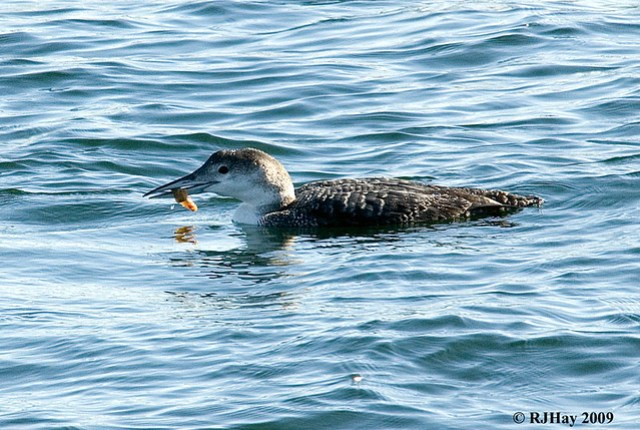 Common Loon - Portsmouth, NH