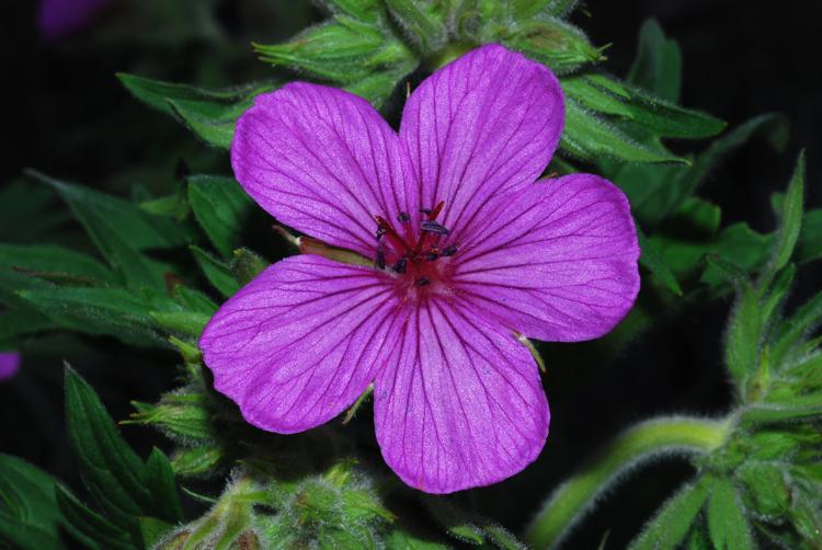 Sticky purple geranium