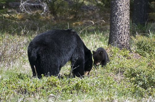 Mother Black Bear and her Cub grazing along the Highway for Berries