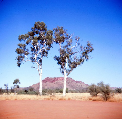Two ghost gums in front of a blue sky and a red mountain, with red dirt in the foreground.