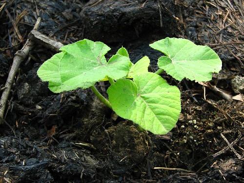 Punkin Plant