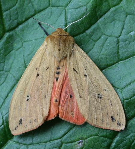 8129 - Pyrrharctia isabella - Isabella Tiger Moth (4)