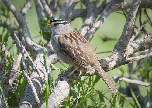 White-crowned Sparrow by you.
