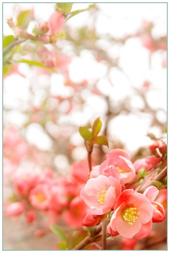Eternity_Flowering Quince