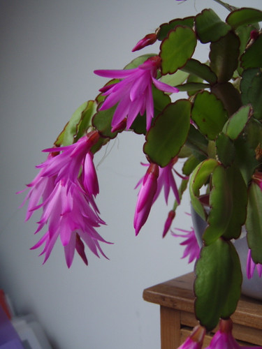 easter cactus - 1