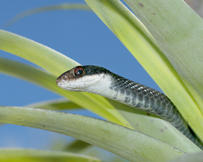 Southern Black Racer in Bromeliad