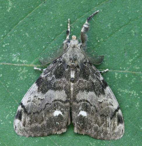 8316 - Orgyia leucostigma - White-marked Tussock Moth