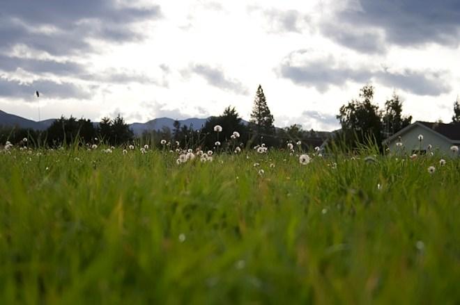 Fields of dandelions