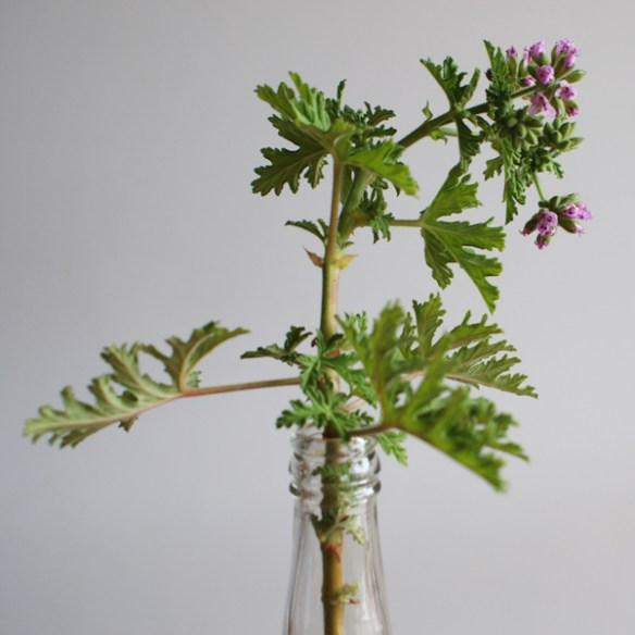 #308 - Pelargonium