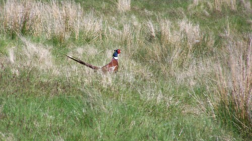 A disturbed male pheasant legs it at amazing speed