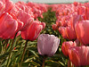 For those who love tulips