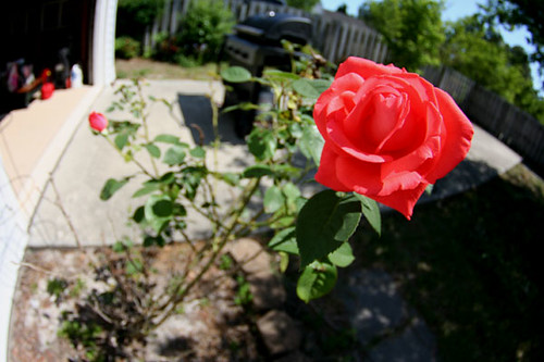 texas_rose_bush