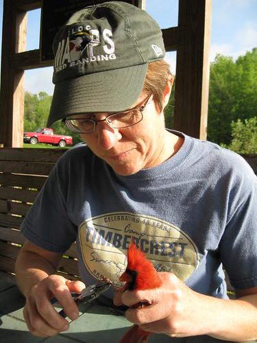 Banding a Cardinal 1