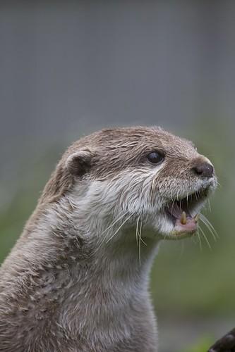 Alert Otter