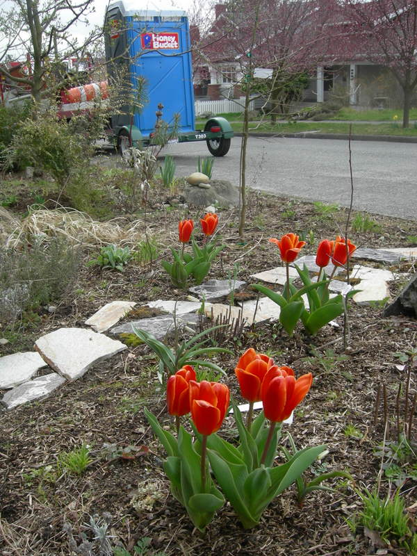 Tulips and Honey Bucket