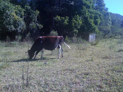 Vaca no Sítio