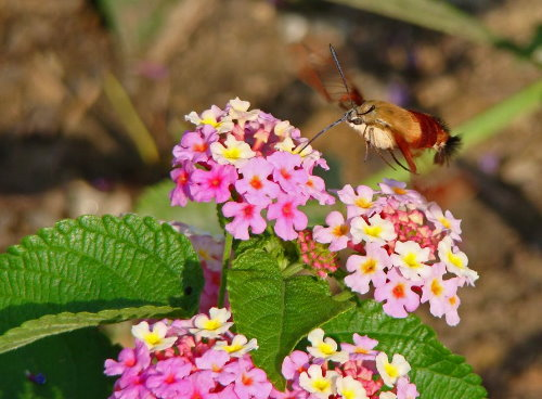Hummingbird Clearwing, by Robin of Robin's Nesting Place