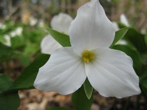 White Trillium Closeup