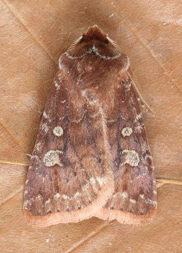 10994 - Cerastis tenebrifera - Reddish Speckled Dart