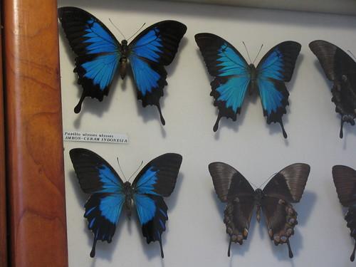 Farfalla Ulysses