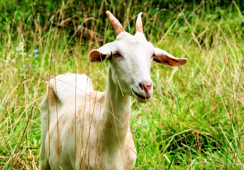 A Goat in the Grass