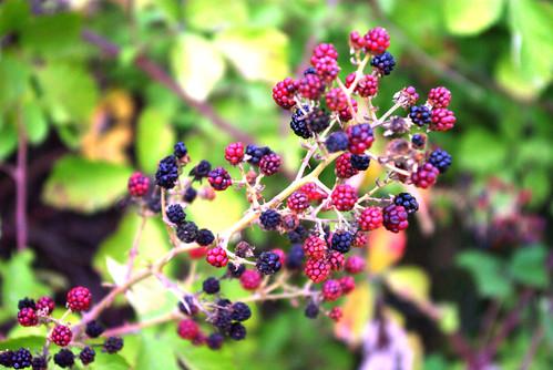 blackberries, böğürtlenler, Düzce city, pentax k10d