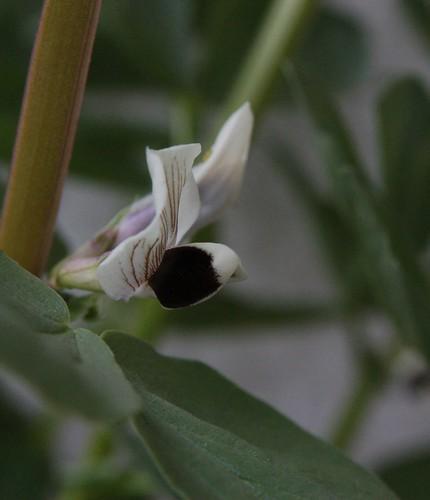 Fava Flower