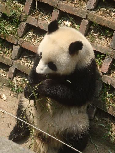 Cuddly Pandas at Panda Reserve in Chengdu
