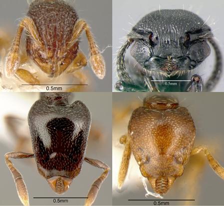 Ant Family