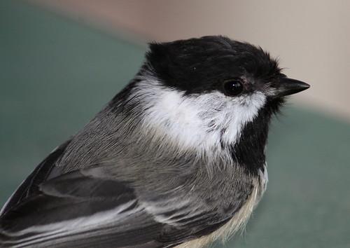 blackcapped chickadee