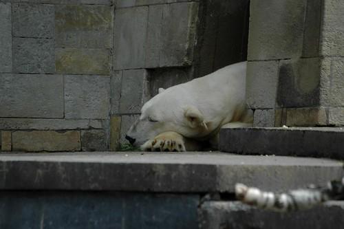 Eisbärin Vienna im Zoo Rostock
