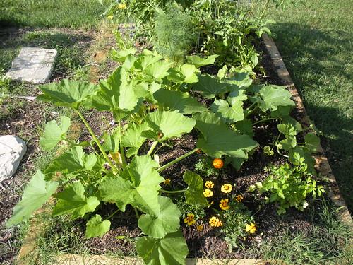 Garden box with huge zucchini.
