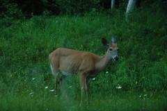 Deer in Acadia