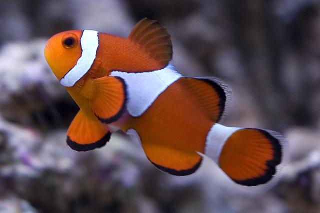 Occelaris Clownfish