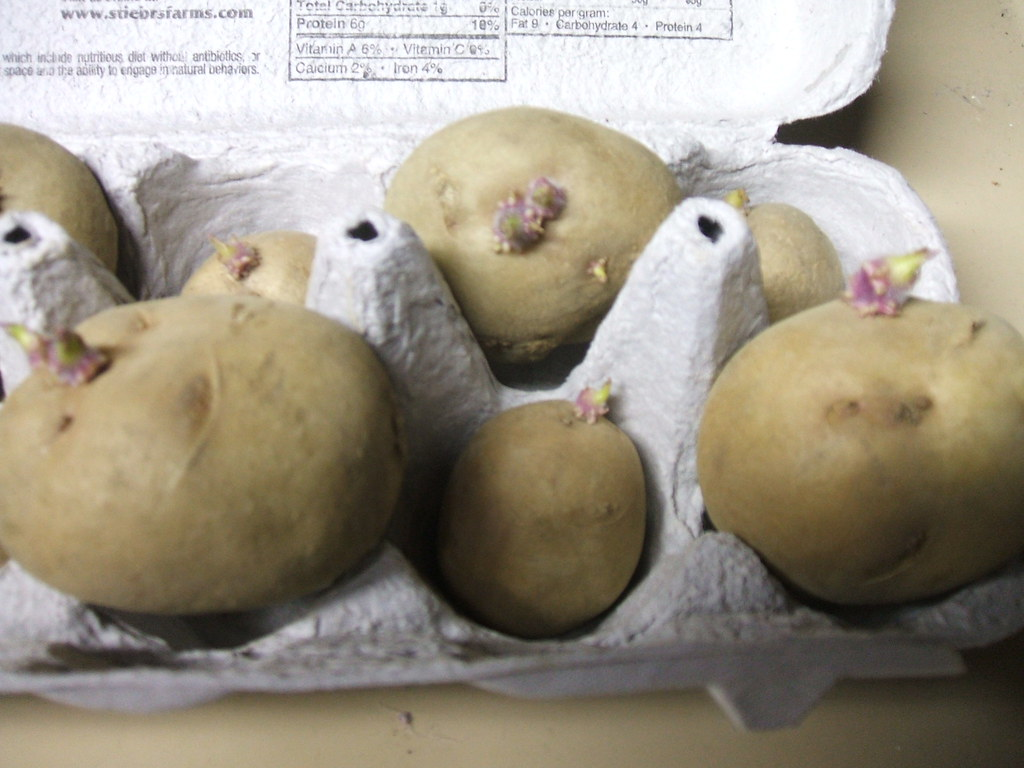 "Yukon gold seet potatoes ""chitting"""