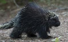 Porcupine at Mer Bleue