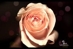 Melting Rose (Explored)
