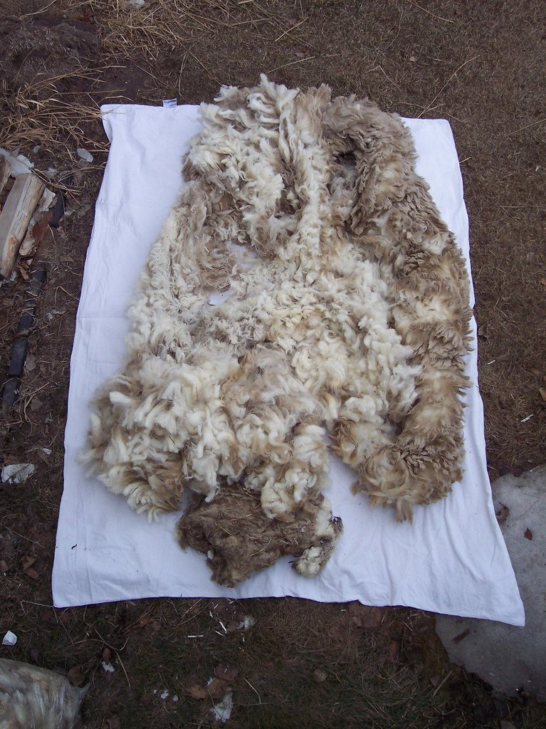 "Columbia ""Prudence"" 2009, April 11, 2009, Sheep Shearing Days at Sommer Farm"