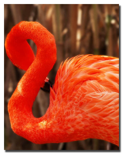 Ampersand  Flamingo